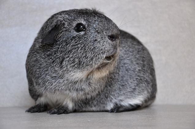 guinea-pig-534742_640