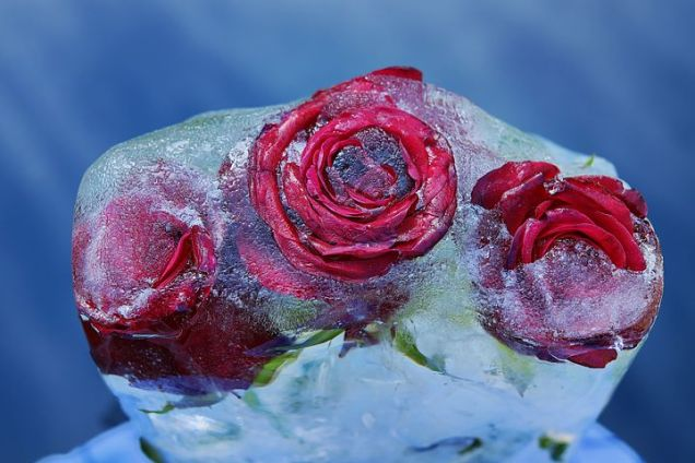 red-roses-3209800__480